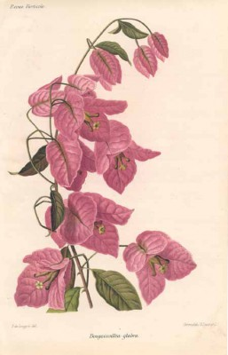 Bougainvillea illustration 1889