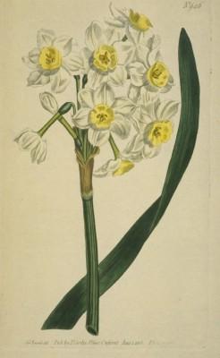 Narcissus orientalis