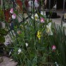 Painted Lady sweet pea and daffodils