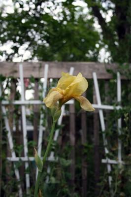 Heirloom Iris