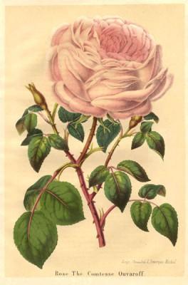 Rosa La Comtesse Ouvaroff (Duchesse de Brabant)