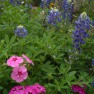 bluebonnets and phlox at the Wildflower Center
