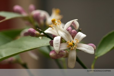 Meyer Lemon bloom