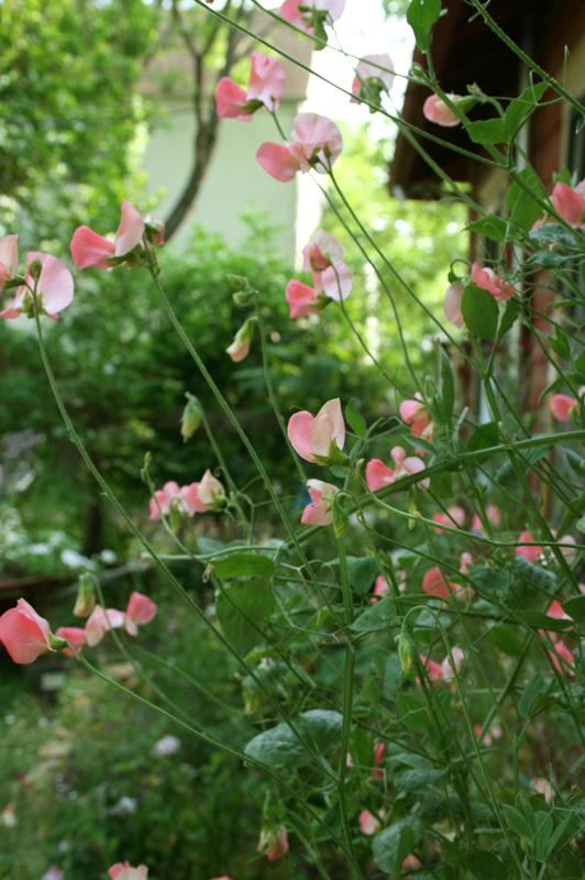 How To Grow Sweet Peas Austin Wildflower